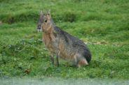 marwell-zoological-park---mara-002_3075682178_o