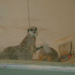 marwell-zoological-park---meerkats-001_3075705456_o