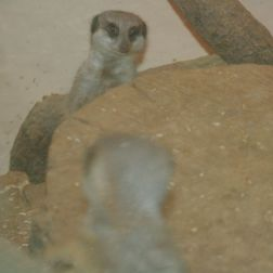 marwell-zoological-park---meerkats-002_3075705686_o