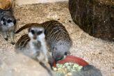 marwell-zoological-park---meerkats-003_3075705922_o