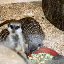 marwell-zoological-park---meerkats-003_3075705922_o