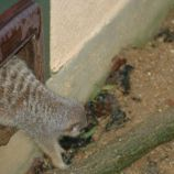 marwell-zoological-park---meerkats-004_3075706040_o