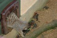 marwell-zoological-park---meerkats-004_3075706040_o