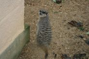 marwell-zoological-park---meerkats-005_3074871487_o