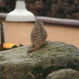 marwell-zoological-park---meerkats-006_3074871623_o