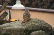 marwell-zoological-park---meerkats-006_3074871623_o