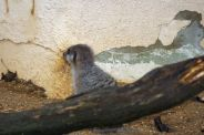 marwell-zoological-park---meerkats-007_3075706680_o