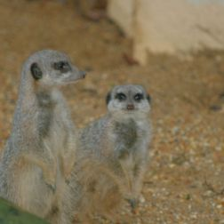 marwell-zoological-park---meerkats-008_3074872087_o