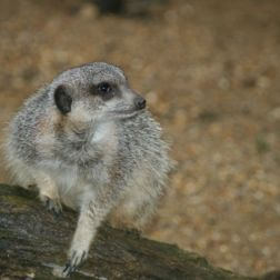 marwell-zoological-park---meerkats-009_3074872231_o