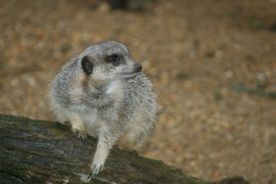marwell-zoological-park---meerkats-009_3074872231_o