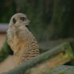 marwell-zoological-park---meerkats-010_3075707016_o