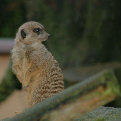 marwell-zoological-park---meerkats-010_3075707016_o