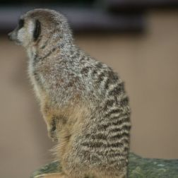 marwell-zoological-park---meerkats-011_3075707194_o