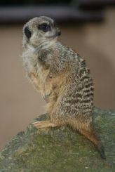 marwell-zoological-park---meerkats-012_3074872895_o