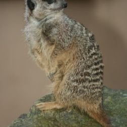 marwell-zoological-park---meerkats-012_3074872895_o