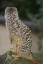 marwell-zoological-park---meerkats-013_3074873035_o