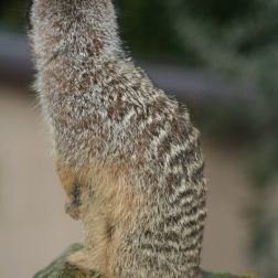 marwell-zoological-park---meerkats-013_3074873035_o