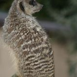marwell-zoological-park---meerkats-014_3074873185_o