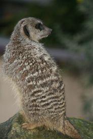 marwell-zoological-park---meerkats-014_3074873185_o
