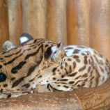marwell-zoological-park---ocelots-001_3074855675_o