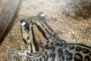 marwell-zoological-park---ocelots-002_3074855969_o
