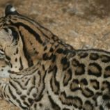 marwell-zoological-park---ocelots-004_3075690908_o