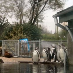 marwell-zoological-park---penguins-002_3074776290_o