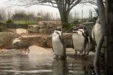 marwell-zoological-park---penguins-003_3073941617_o