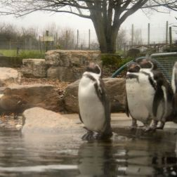marwell-zoological-park---penguins-003_3073941617_o
