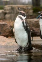 marwell-zoological-park---penguins-004_3074859121_o