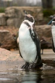 marwell-zoological-park---penguins-004_3074859121_o