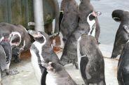 marwell-zoological-park---penguins-006_3073941915_o