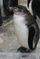 marwell-zoological-park---penguins-007_3073942037_o