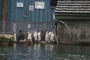 marwell-zoological-park---penguins-008_3075694484_o