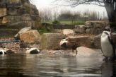 marwell-zoological-park---penguins--ducks-001_3074776080_o