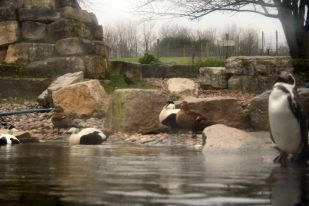 marwell-zoological-park---penguins--ducks-001_3074776080_o