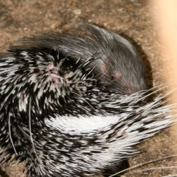 marwell-zoological-park---porcupine-002_3074860125_o