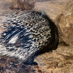 marwell-zoological-park---porcupine-003_3074860319_o