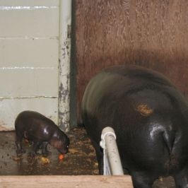 marwell-zoological-park---pygmy-hippo-001_3074860415_o