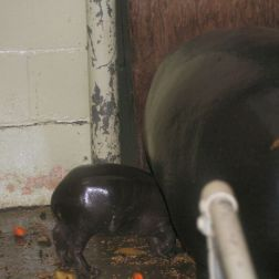 marwell-zoological-park---pygmy-hippo-002_3074860527_o