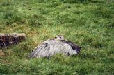 marwell-zoological-park---rheas-001_3075695476_o