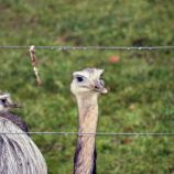 marwell-zoological-park---rheas-002_3074861035_o
