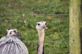 marwell-zoological-park---rheas-002_3074861035_o