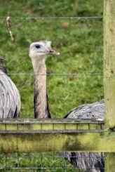 marwell-zoological-park---rheas-003_3074861623_o