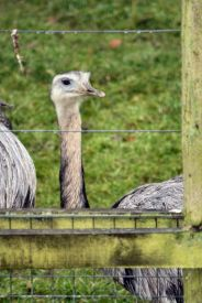 marwell-zoological-park---rheas-003_3074861623_o