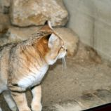 marwell-zoological-park---sand-cats-001_3074861837_o