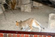 marwell-zoological-park---sand-cats-002_3075696616_o