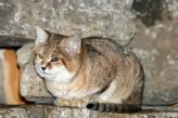 marwell-zoological-park---sand-cats-005_3075697238_o