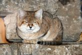 marwell-zoological-park---sand-cats-006_3074862879_o