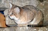 marwell-zoological-park---sand-cats-007_3074863207_o